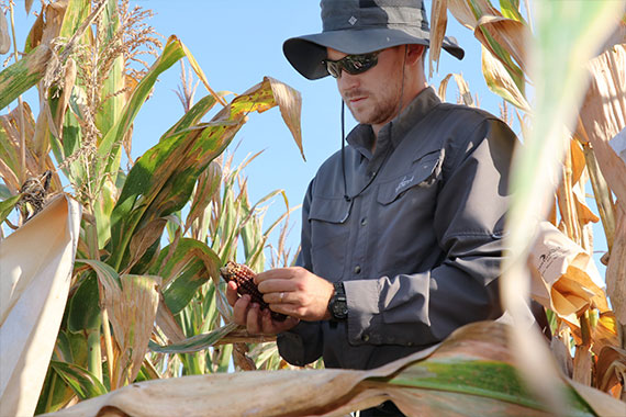 Graduate student examining corn in field