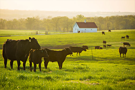 Cattle standing in field at Thompson Research Center